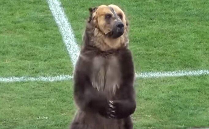 Rusya'da maçı ayı başlattı! Görülmemiş olay...