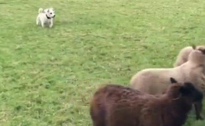 Dünyanın en kötü çoban köpeği