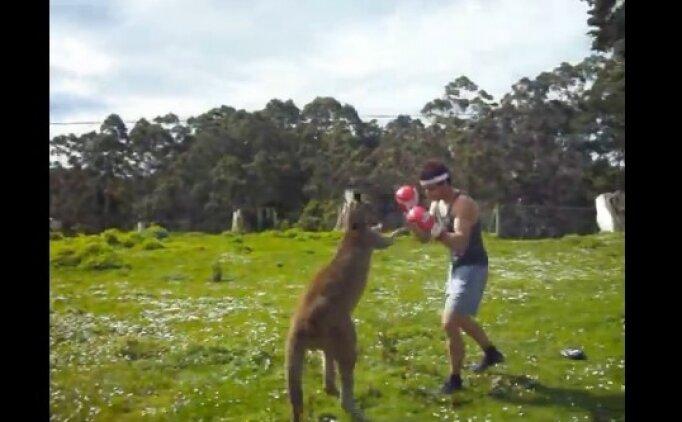 Kanguru ile boks maçı yapılırsa ne olur?