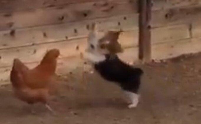 Köpek ve tavuğun münakaşası güldürdü