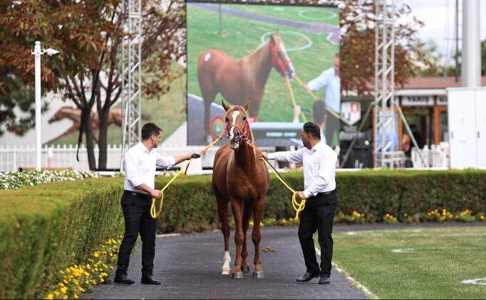 Safkan Arap yarış atı 'Cengaver' 680 bin liraya satıldı